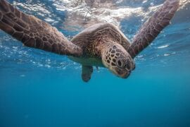 Sea turtle underwater floating over sand near water surface. Front view